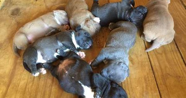 Litter Of 7 American Bully Puppies For Sale In Searcy Ar Adn