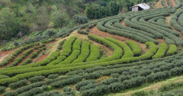 Teeblatt Tee Thailand