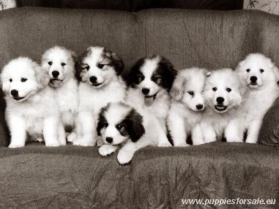Dogs For Sale Great Pyrenees Puppy Pyrenees Puppies Great Pyrenees