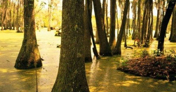Cypress Trees Home Decor That I Love Pinterest