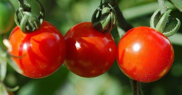 صور طماطم رمزيات و خلفيات طماطم بانواعها ميكساتك Vegetables Tomato Photo