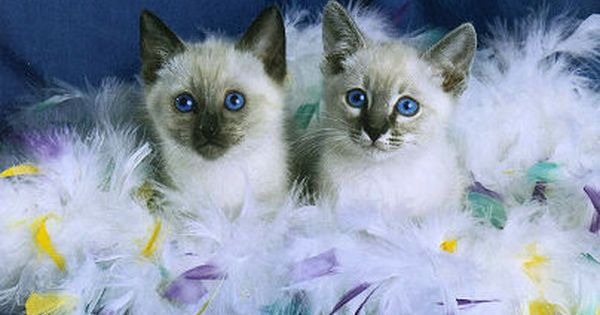 Kittens With Feathers Balinese Cat Cat Breeder Siamese Cats