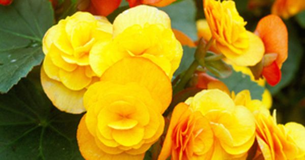 Winter Flowering Begonias