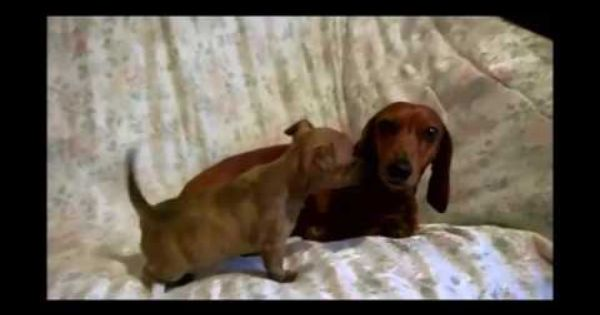 Adopt Me Rand With Radley Dachshund Rescue Nw Dachshund Rescue
