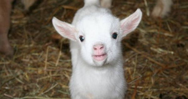 Baby Pygmy Goats For Sale Miniature Pygmy Goats For Sale In Lula