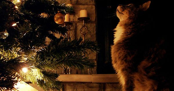 My favorite part about Christmas time, cats and the Christmas tree