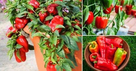 Cómo Cultivar Pimientos En Macetas Bioguia Plantar Pimientos Huerta En Macetas Cultivo De Hortalizas