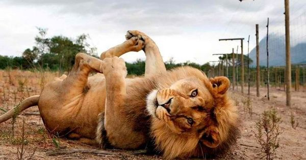 Just a big kitty cat! Playful Lion, Beautiful Animal Photography, Wildlife