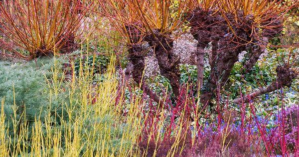 Salix viminalis saule des vanniers en pot de 2l for Au jardin des saules