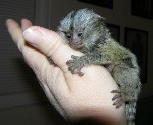 Monkeys California Free Classified Ads Marmoset Monkey Pygmy Marmoset Monkeys For Sale