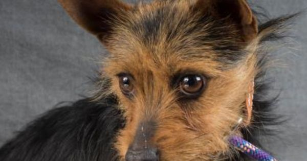 Meet Jamaica A 2 Years 7 Months Chihuahua Short Coat Terrier Yorkshire Available For Adoption In Colorado Springs Co Chihuahua Rescue Dogs Pets