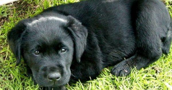 Dogalogue Black Labrador Puppy Black Labs Dogs Labrador Retriever Puppies
