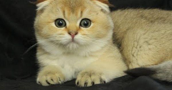 Scottish Fold British Shorthair Sahibinden Yavru Kediler Kedi Sahiplendirme Fiyatlari Scottish Fold Yavrular Kivrik Kul Scottish Fold Yavru Kediler Kedi