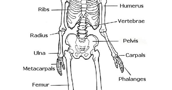 the skeletal system  hands