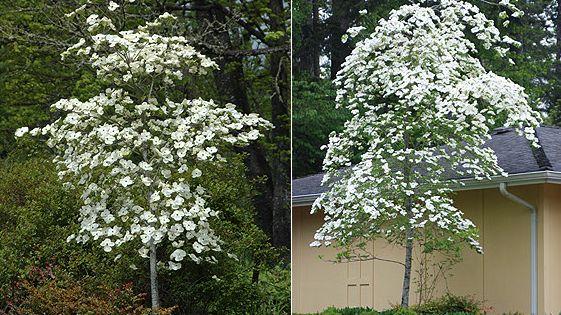 Multnomah Falls Plant Of The Day 3 Eddies White Wonder