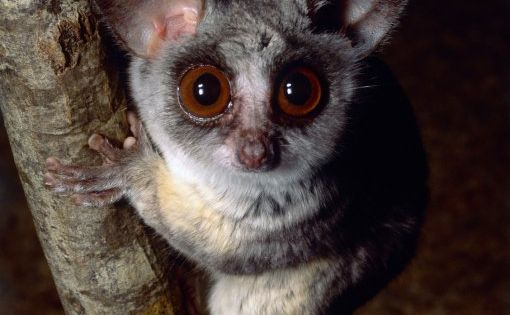 Also known as Galagos, bush babies are small, nocturnal ...