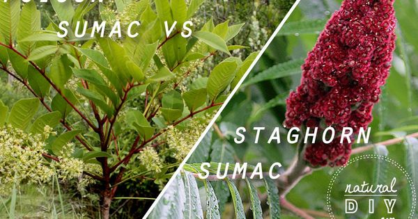 Natural Diy Fall Foraging Poison Sumac Vs Staghorn Sumac