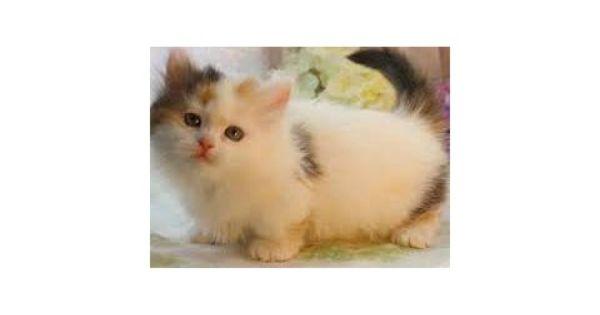 Dffghhkj Munchkin Kittens For Sale Munchkin Kitten Munchkin Cat Kitten Adoption