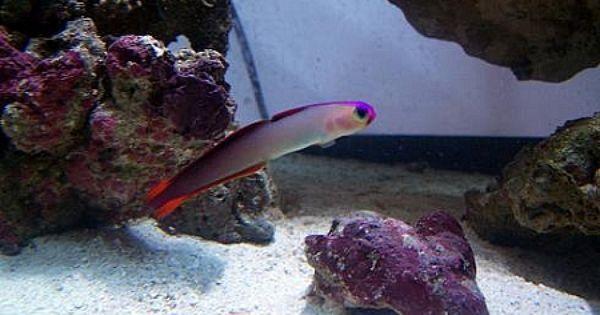 Purple Firefish Goby Saltwater Fish Gobies Saltwater Tank Salt Water Fish Reef Tank