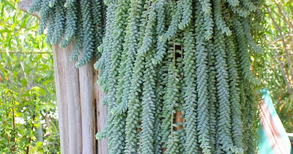 donkey tail succulents; Laguna garden - burros tail succulent. Plants for your