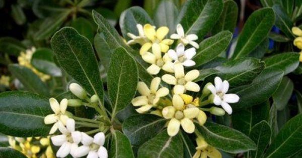 Arbustos perennes el azarero perennes arbustos y for Arbustos para jardin