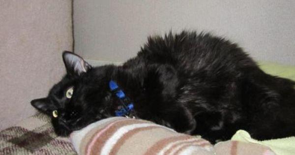 Rollie Domestic Long Hair Black Cat Atascadero Ca Pets Cats Black Cat