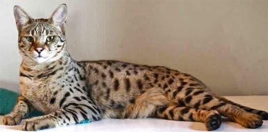 Top 10 Plus Hybrid Animals Of The World Savannah Cat Bengal Cat Kitten Savannah Chat