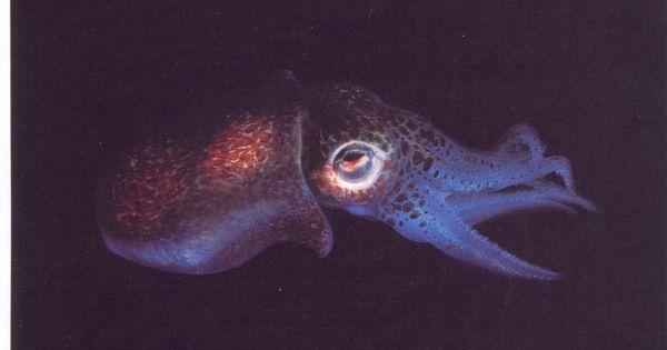 The Hawaiian Bobtail Squid has luminescent eyes powered by light organs housing
