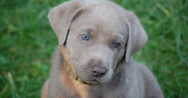 Labradorzucht Labrador Grau Charcoal Silver Labrador Silber Labrador