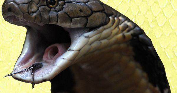 King Cobra Facts-N-Photos   Snakes   Pinterest   King ...