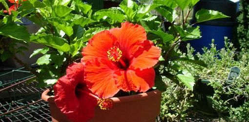 Problem With Tropical Hibiscus Leaves Turning Yellow Today S Homeowner Hibiscus Leaves Hibiscus Plant Growing Hibiscus
