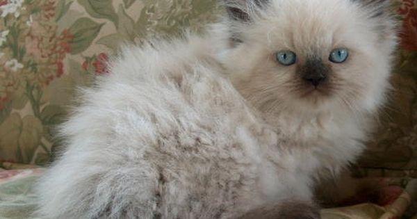 Himalayan Kittens Photo Page Cute Cats Photos Pets Cute Cats
