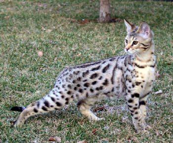 Elite Savannah Cat Select Exotics Cat Breeds Savannah Cat Bengal Cat Facts