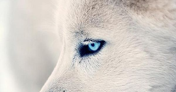 white wolf I think all WHITE WOLVES have the most BEAUITIFUL PAIR