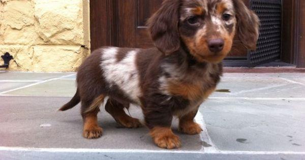 Your Afternoon Animal Fix Dachshund Puppies Dapple Dachshund