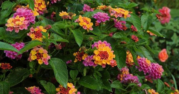 The 10 Best Lantana Landscaping In 2020 Heat Tolerant Plants Drought Tolerant Garden Plants