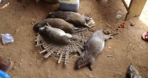 Greater Cane Rat, a traditional Igbo delicacy   Afrikan ...