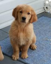 Akc Golden Retriever Puppies Repin By Dazehub Animaldaze