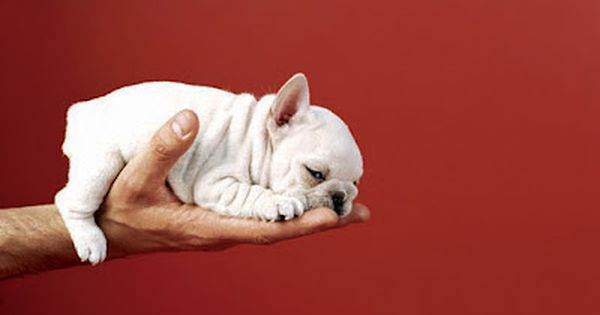 French Bulldog Puppy, by Sharon Montrose - Commercial Animal Photographer, Dog Pictures,