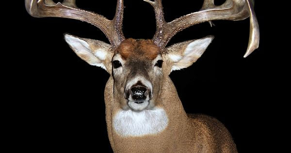Even more bucks of legendary whitetails iii taxidermy for Fish taxidermy near me