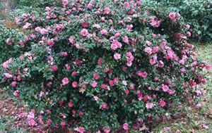 Shishi Gashira Camellia Sasanqua 2