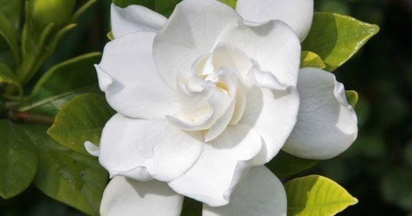How And When To Prune A Gardenia Shrub Gardenia Shrub Flower Garden Gardenia Bush