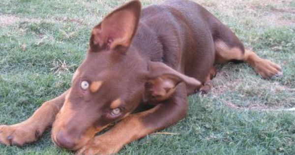 Red Cloud Kelpies 3 Dog Breeds Working Dogs Animals