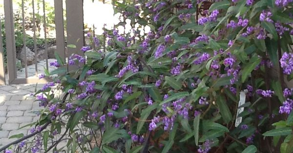 Hardenbergia violacea 39 happy wanderer 39 hardy evergreen for Evergreen climbing plants for privacy