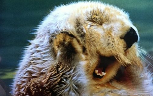 Sea otters are amazing animals
