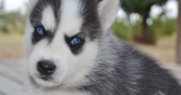 Siberian Husky Puppies For Free To Good Homes Siberian Husky