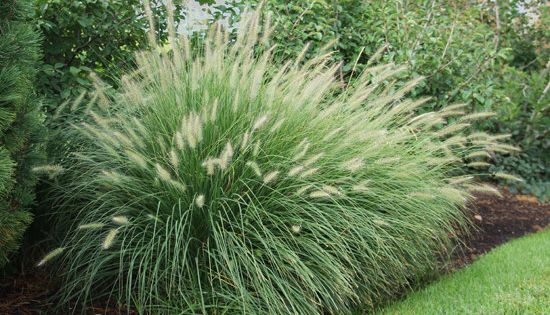 Pennisetum Alopecuroides Little Bunny Fountain Grass Live Plant Ornamental Grass Dwarf Very Tidy Perfect For Fountain Grass Ornamental Grasses Live Plants
