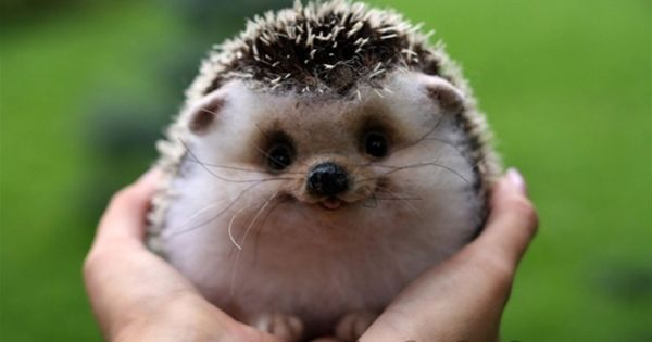 Smiley hedgehog, SO CUTE!