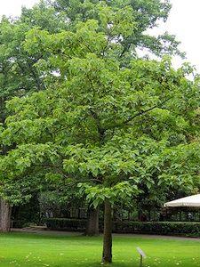 Le Paulownia Est Un Petit Arbre D Ornement A La Silhouette Elegante De Culture Facile On L Apprecie Au Jard Arbres Pour Petit Jardin Arbre D Ornement Jardins