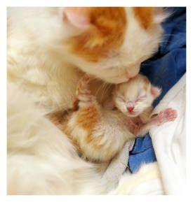 Newborn Kitten Care Caring For Newly Born Kittens Cats And Newborns Kitten Care Newborn Kittens